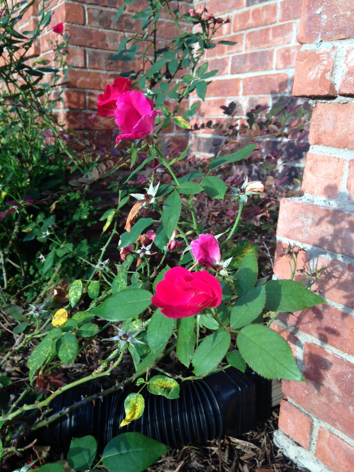 Roses In Garden: Welcome To McClellan Town